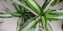 Load image into Gallery viewer, Dracaena 'warneckii'