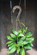 "Load image into Gallery viewer, Hoya pubicalyx 'wax plant' - 8"" hanging basket"