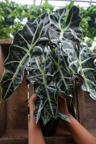 "Alocasia 'African mask' - 8"" pot"