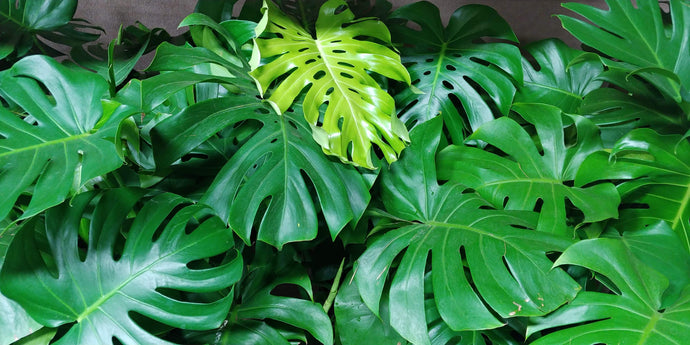 Monstera - 7 gallon pot