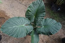 "Load image into Gallery viewer, Alocasia 'regal shields' - 10"" pot"