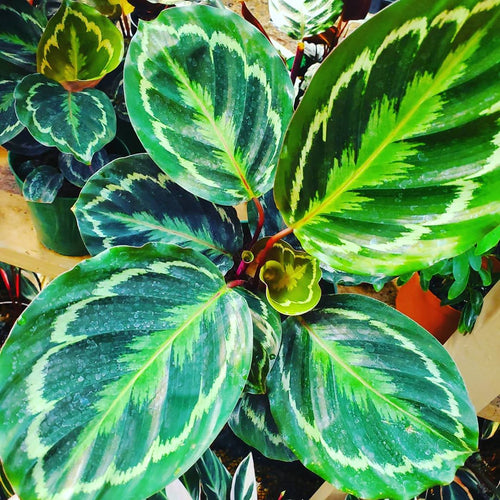 Calathea -  Roseopicta / Medallion Prayer Plant  - 6