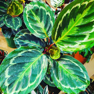 "Calathea -  Roseopicta / Medallion Prayer Plant  - 6"" Pot"