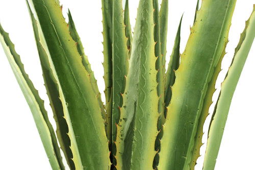 Agave Large Dusted Yellow