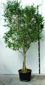 Ficus Tree - Amstel King