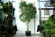 Load image into Gallery viewer, Ficus Tree - Amstel King