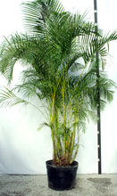 Load image into Gallery viewer, Areca Palm  10-12'