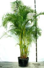 Load image into Gallery viewer, Areca Palm  12-14'