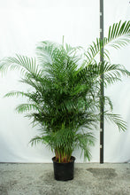 Load image into Gallery viewer, Areca Palm 7-8'