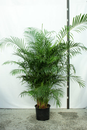 Areca Palm 8-9' Tall