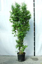 Load image into Gallery viewer, Ficus Tree - Benjamina Column