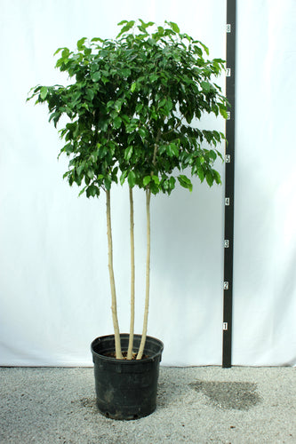 Ficus Tree - Benjamina Multitrunk