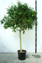 Load image into Gallery viewer, Ficus Tree - Benjamina Standard