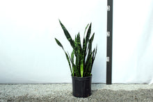 Load image into Gallery viewer, Sansevieria - Black Coral 2-3'