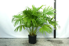 Load image into Gallery viewer, Chinese Fan Palm 3-4'