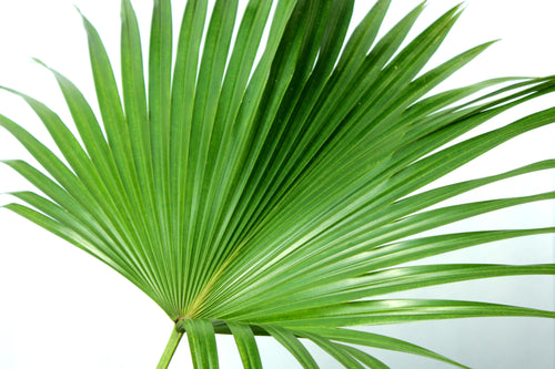 Chinese Fan Palm 8-10'