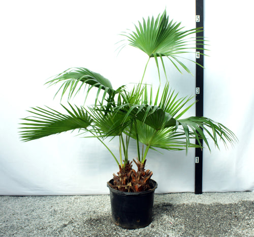 Chinese Fan Palm 5-6'