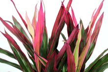 Load image into Gallery viewer, Cordyline 2-3'