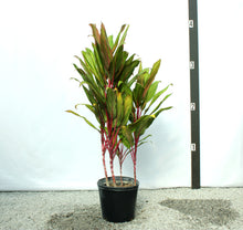 Load image into Gallery viewer, Cordyline 3-4'