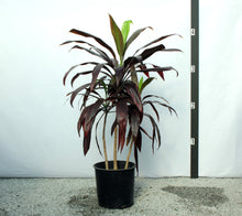 Load image into Gallery viewer, Cordyline 4-5'