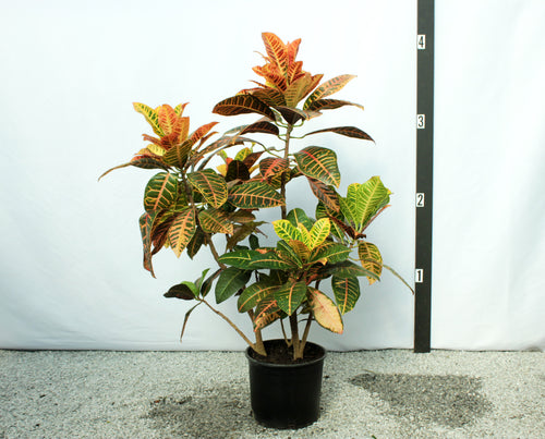Croton - Orange/Yellow
