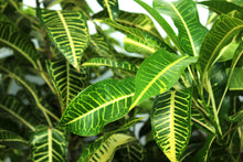 Load image into Gallery viewer, Croton - Green/Yellow