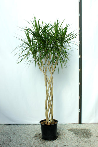 Dracaena Marginata Braided