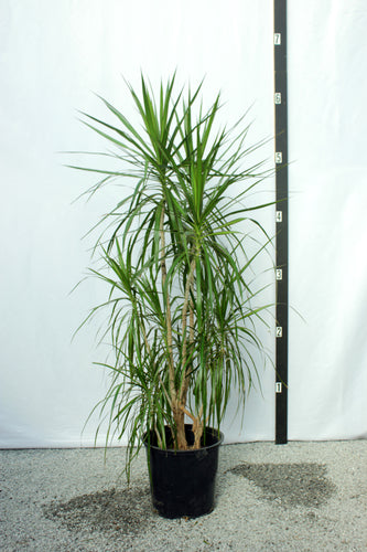 Dracaena Marginata Multistalk