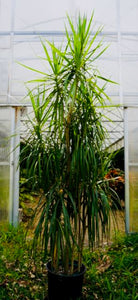 Dracaena Marginata Stager 6-7' tall