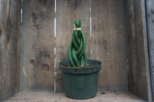 "Sansevieria cylindrica braid - 6"" pot"