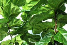 Load image into Gallery viewer, Fiddle Leaf Fig - Column