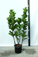 Load image into Gallery viewer, Fiddle Leaf Fig - Mini Leaf