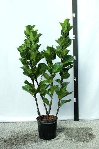 Fiddle Leaf Fig - Mini Leaf