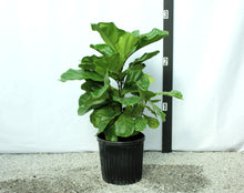 Load image into Gallery viewer, Fiddle Leaf Fig - Small