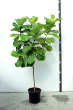 Load image into Gallery viewer, Fiddle Leaf Fig 8'