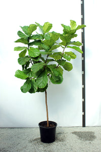 Fiddle Leaf Fig 8'