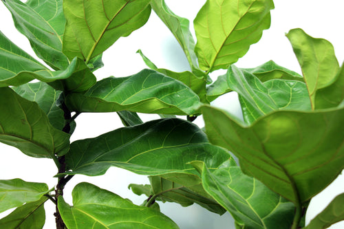 Fiddle Leaf Fig - Standard