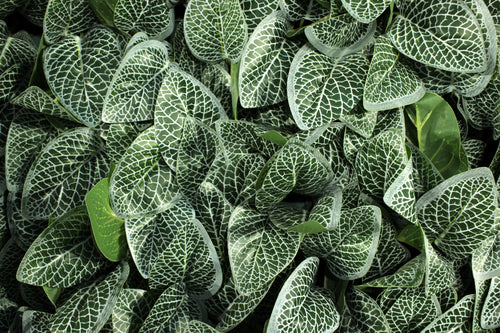 Fittonia Panels or Walls