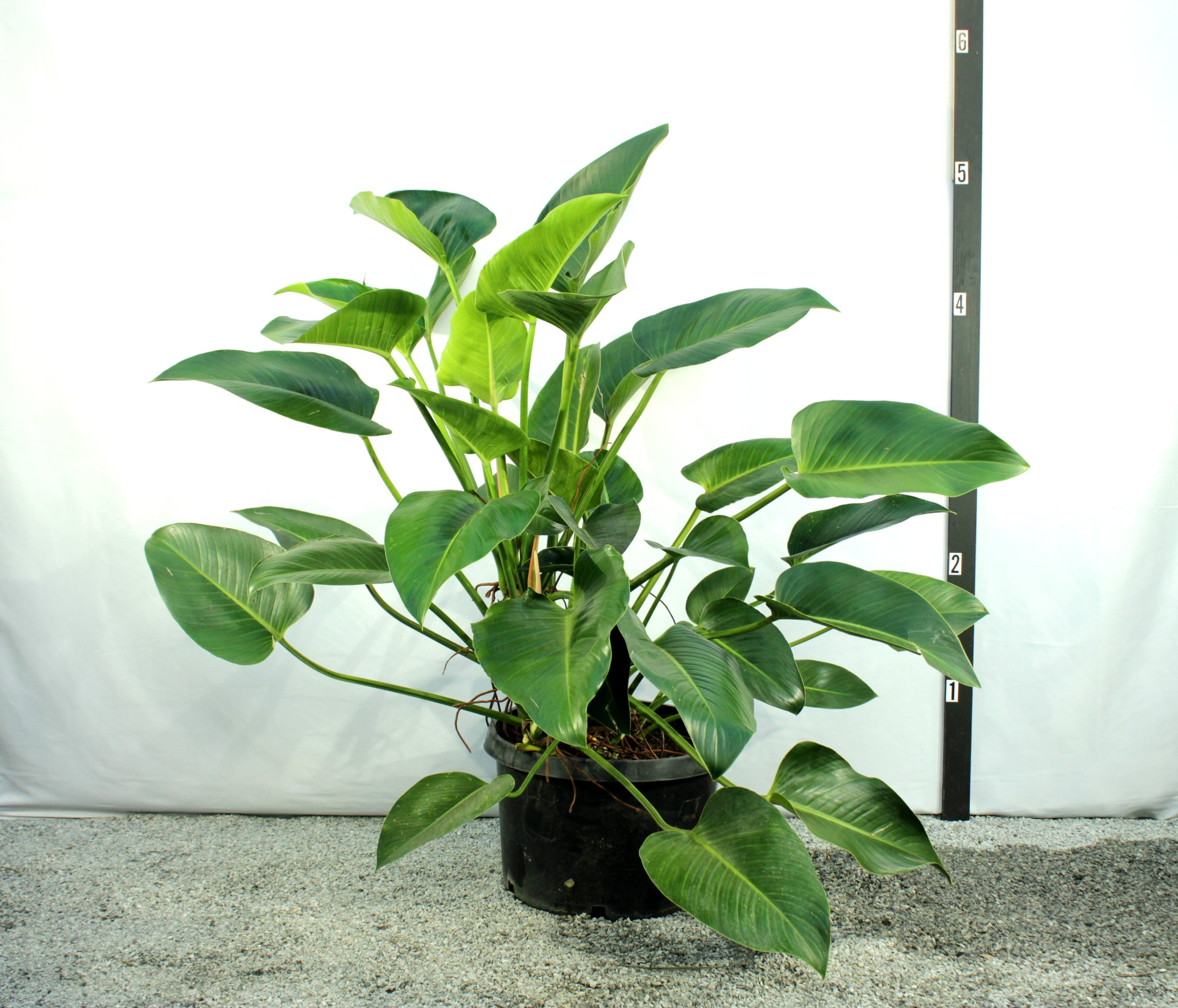4 Green Philodendron
