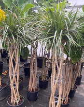 Load image into Gallery viewer, Dracaena Marginata Wave 5' or 6.5' tall