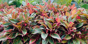 "Aglaonema Siam - 10"" pot"