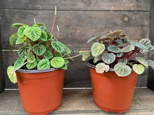 "Load image into Gallery viewer, Peperomia Ripple - Green - 6"" or 8"" pot"