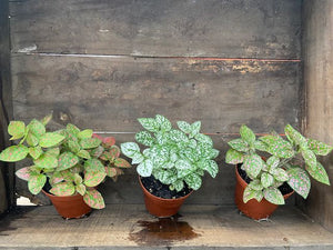 "Hypoestes Splash/Polka Dot - 4"" pot"