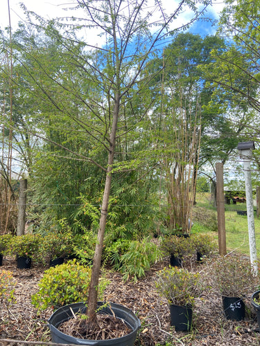 Bald Cypress Tree - 30 Gallon Pot