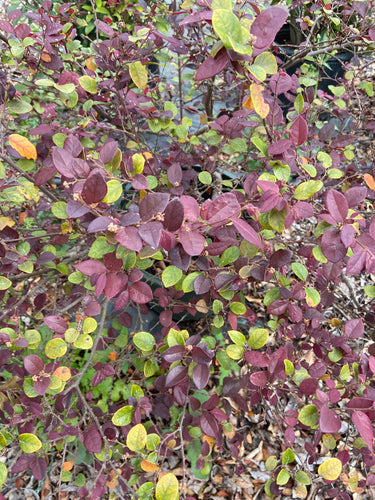 Loropetalum Compact Ruby - 7 Gallon Pot