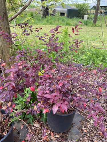 Loropetalum Rubrum - 5 Gallon Pot