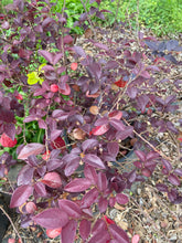 Load image into Gallery viewer, Loropetalum Rubrum - 5 Gallon Pot