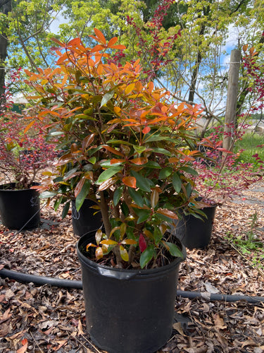Cleyara Japonica - 5 Gallon Pot