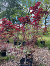 Load image into Gallery viewer, Japanese Maple - 15 Gallon Pot