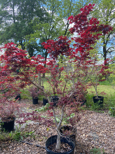 Japanese Maple - 15 Gallon Pot